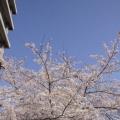 最后一度樱花